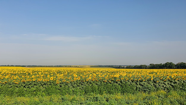 Dunkler himmel über einem gelben feld. ein gewitter kommt. ein naturphänomen.