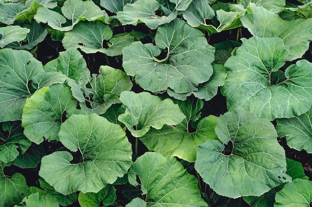 Dunkler waldhintergrund große schöne grüne blätter von wilden pflanzen von kletten, die im wald wachsen