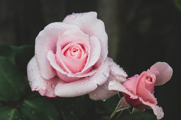 Dunkles foto der rosarose. getönte, gestylte vintage live rose aus dem garten mit wassertropfen. grußkarte mit rose.