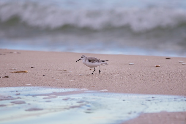 Dunlin in saler beach