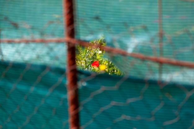 Durch ein loch im zaun eines obstgartens ist neben dem angebauten gemüse eine mohnblume zu sehen