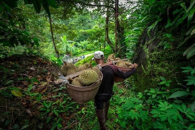 Durian bauern führen aus dem durian garten