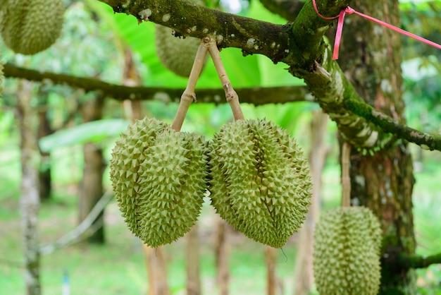 Durian-baum, frische durian-frucht auf baum durians sind der könig der früchte