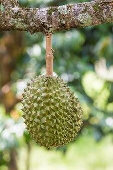 Durian, der könig der früchte, auf einem baum