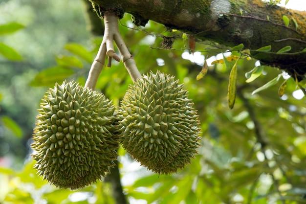 Durian exotische pflanze