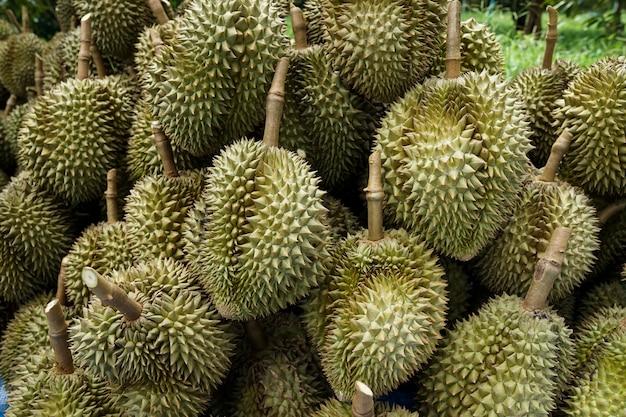 Durian-gruben, die die gärtner vom baum fällen, bevor sie sortiert und dann verkauft werden.