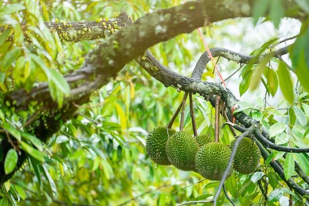 Durian ist bereit, die produkte auf dem baum zu ernten und wartet darauf, dass die kaufleute sie kaufen und nach china exportieren.