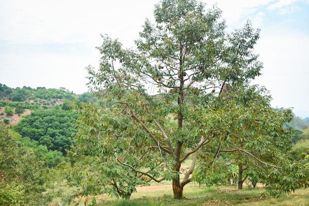 Durianbaum mit durianfrucht, die auf dem ast in den tropischen sommerfrüchten des gartenobstgartens hängt und auf die ernte-naturfarm auf dem berg durian in thailand wartet
