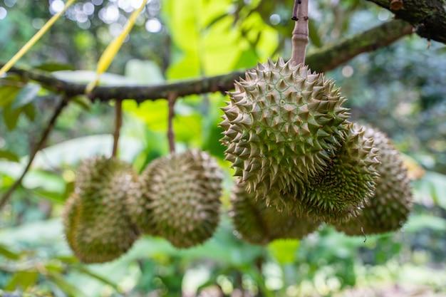 Durianfrucht, die an den niederlassungen von durianbäumen hängt