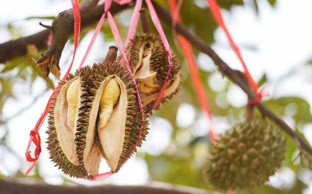 Durianfrucht, die auf dem durianbaum in den tropischen sommerfrüchten des gartenobstgartens hängt und auf die ernte-naturfarm auf dem berg wartet. frischer durian in thailand
