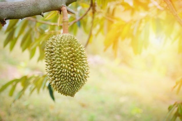 Durianfrucht, die vom durianbaum im garten hängt