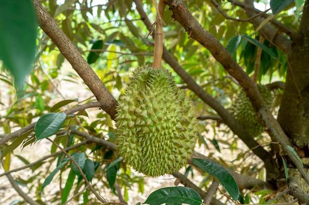Durians auf baum im bauernhof