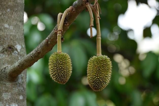 Durianschraube am baum ist eine köstliche frucht.