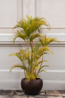 Dypsis lutescens pflanze in einem topf. allgemeiner name goldene rohrpalme, areca-palme, gelbe palme oder schmetterlingspalme.