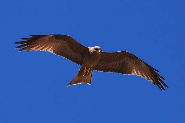 Eagle auf safari in kenia und tansania, afrika