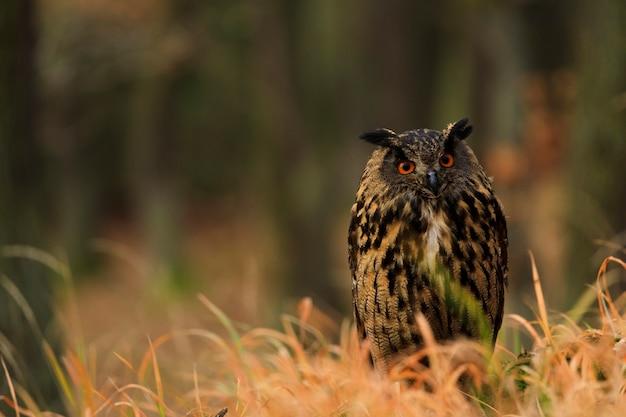 Eagle owl, der im alten gras sitzt