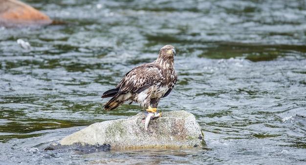 Eagle steht auf einem felsen mitten im fluss und hält beute in seinen krallen. alaska. katmai nationalpark. usa.