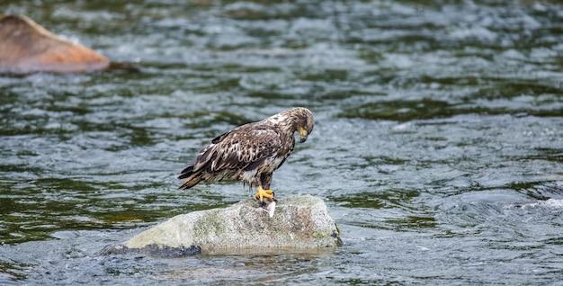 Eagle steht auf einem felsen mitten im fluss und hält beute in seinen krallen.
