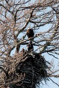 Eagles, die auf einem baum, keewatin, see des holzes, ontario, kanada hocken