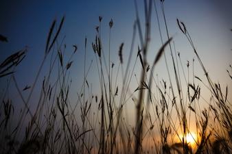 Ebener Schuß des Grases wirft Schattenbilder gegen untergehende Sonne als natürlichen Hintergrund auf