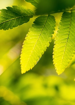 Ebereschenniederlassung mit grünen blättern