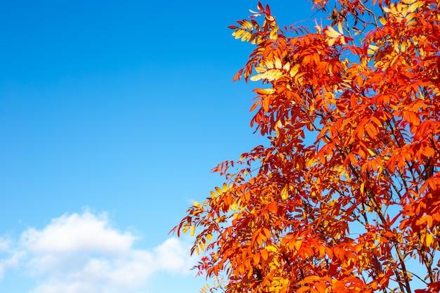 Ebereschenzweige mit geröteten blättern an einem sonnigen herbsttag gegen einen blauen himmel