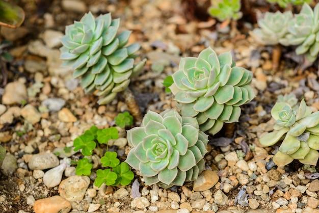 Echeveria / echeveria ist eine große gattung von blütenpflanzen in der familie der crassulaceae