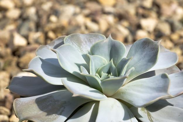 Echeveria sukkulente pflanze