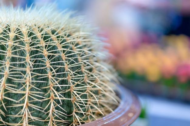 Echinocactus grusonii, kaktus in töpfen gepflanzt.