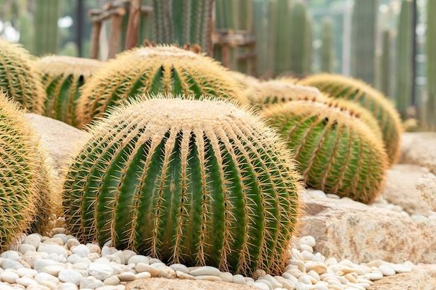 Echinocactus grusonii oder ein goldener eimer. eine schöne kaktusgartenanordnung.