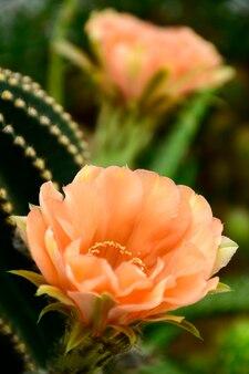 Echinopsis hybrid orange paramount.