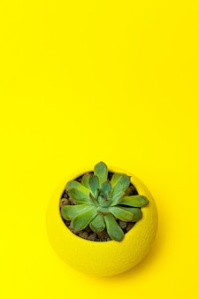 Echiveria in einem gelben topf auf gelbem hintergrund