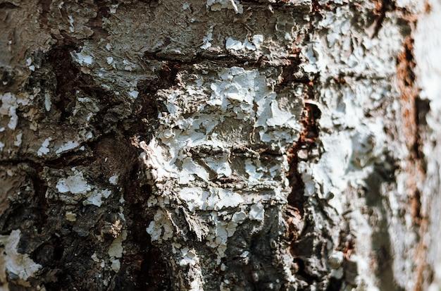 Echte birke mit alter holzstruktur und rissen. holzhintergrund mit weißgrüner struktur. naturwalddorf foto. ökologische birkenrinde.