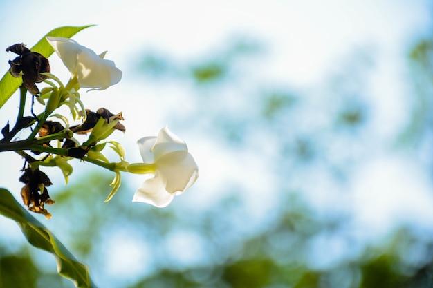 Ecke in der nähe von zwei weißen gardenienblumen der hintergrund ist unscharf. schöne natur im sommer