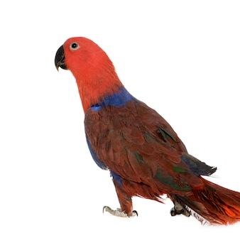 Eclectus parrot - eclectus roratus (1 jahr) isoliert