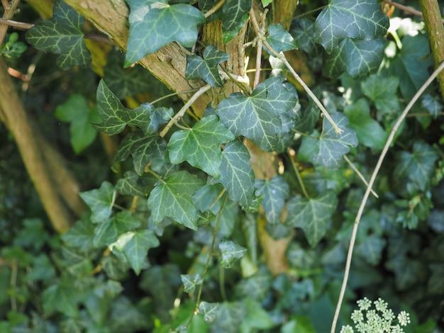 Efeu pflanzen hintergrund