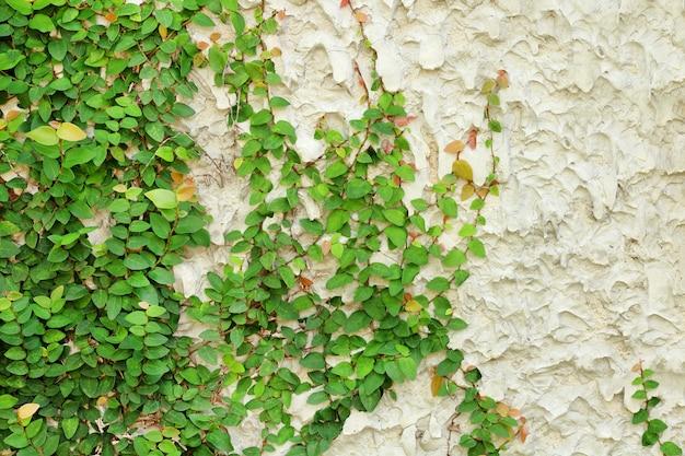 Efeugrünblätter bedeckten die wand, hintergrund des natürlichen baumzauns.