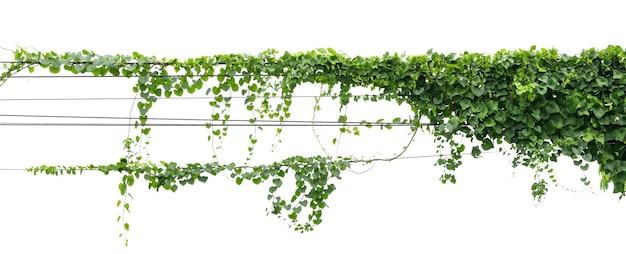 Efeupflanze, die auf elektrischem drahtisolat auf weißem hintergrund hängt