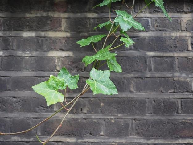 Efeupflanze und wandhintergrund