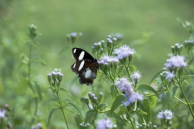 Eggfly butterfly auf der blumenpflanze