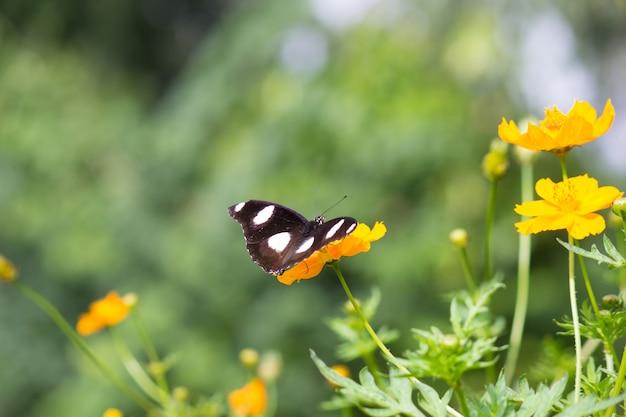 Eggfly butterfly sitzt auf den blumen in weichem grün