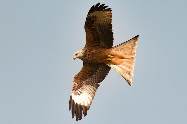 Ehrfürchtiger raubvogel im flug