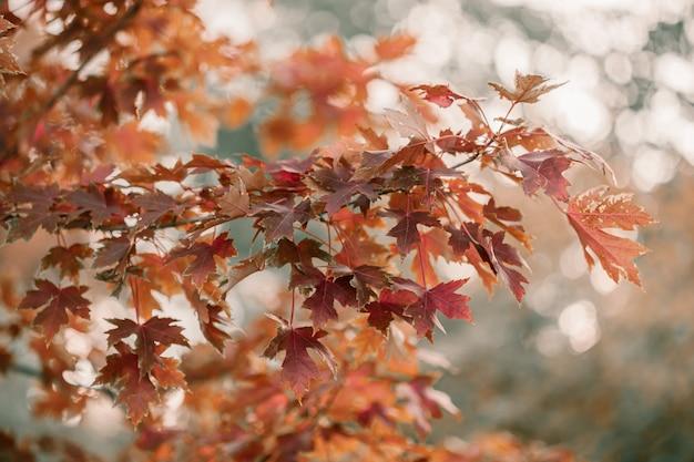 Eiche mit roten, orange und gelben blättern