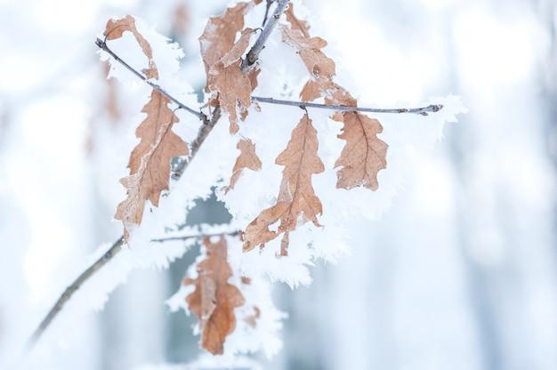 Eichenzweig mit blättern im schnee und im frost. gefriertag.