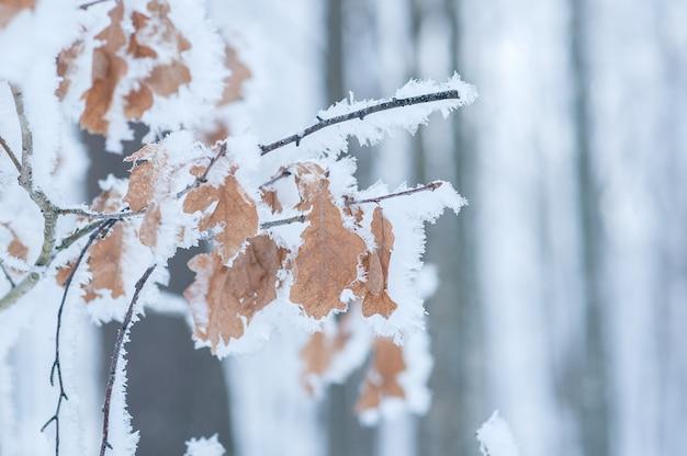 Eichenzweig mit blättern im schnee und im frost.