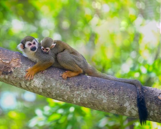 Eichhörnchen-affe auf niederlassung von baumtieren in der wildnis