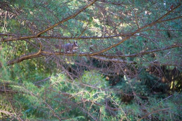 Eichhörnchen auf dem baum träste eines grünen nadelbaums, unter den ästen eine verschwommene silhouette eines eichhörnchens. natürlicher hintergrund, das konzept der schönheit der natur im stadtpark.