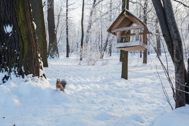 Eichhörnchen auf dem schnee und ein futterhaus, das an einem baum im park im winter hängt.