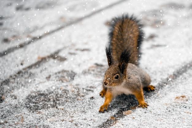 Eichhörnchen auf der straße im winterpark
