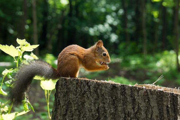 Eichhörnchen auf einem hanf mit einer nuss